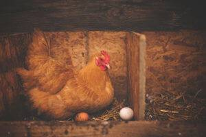 A chicken lays atop eggs in a nest.