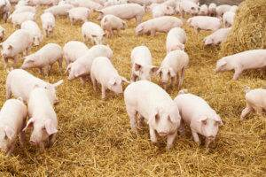 Numerous swine graze among hay.